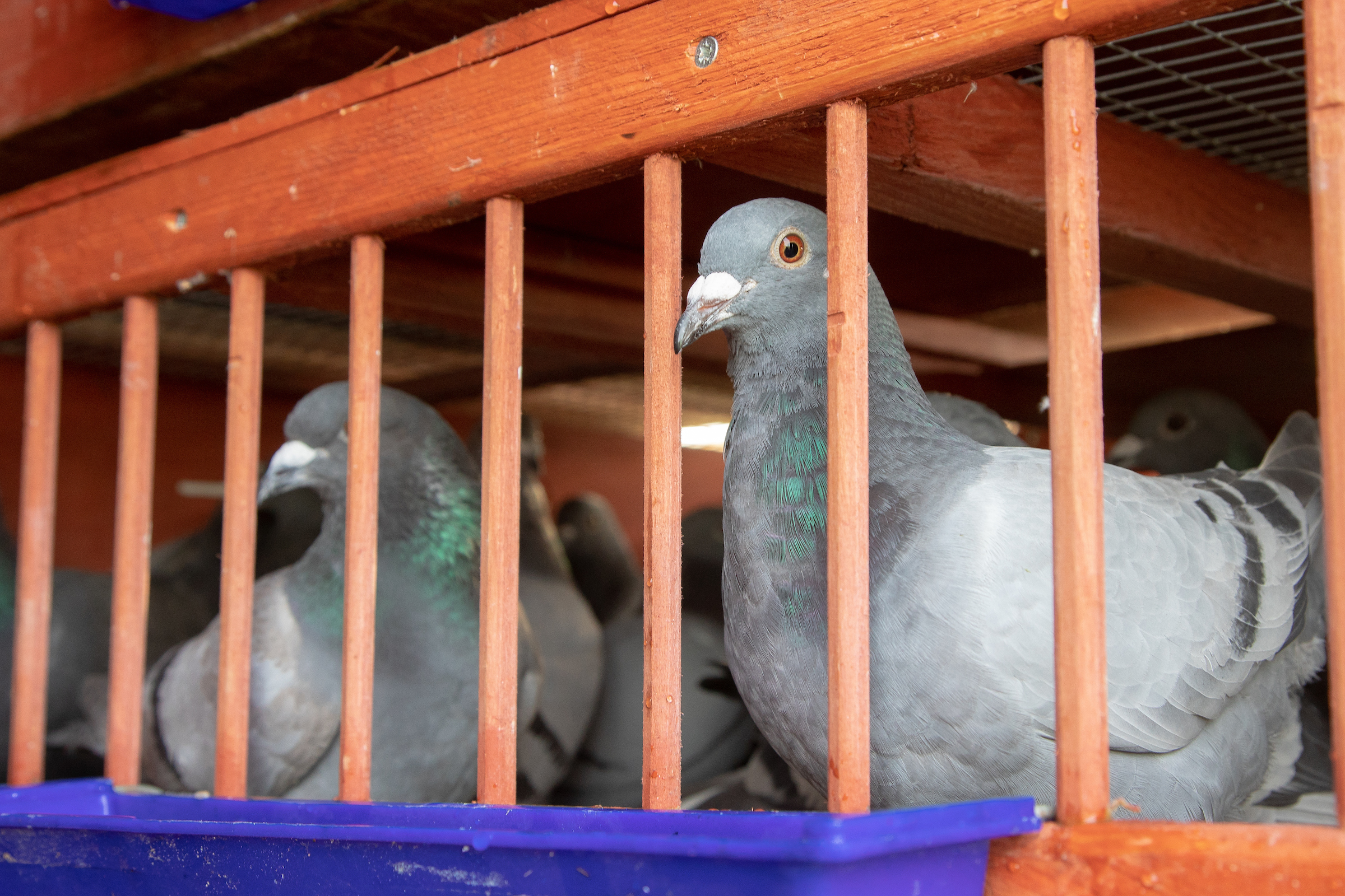 25,000 Pigeon Fanciers Flock to the Royal Pigeon Racing Association's 47th Show!