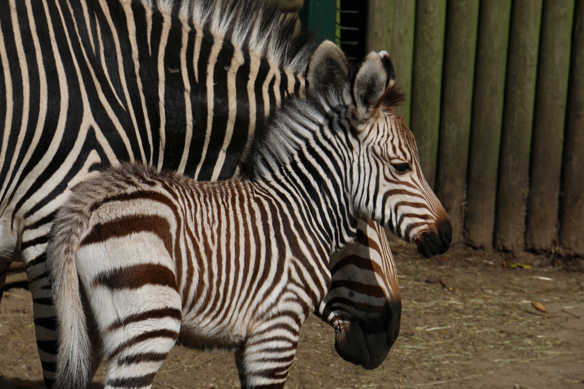 Miracle star - with stripes - makes zoo debut!